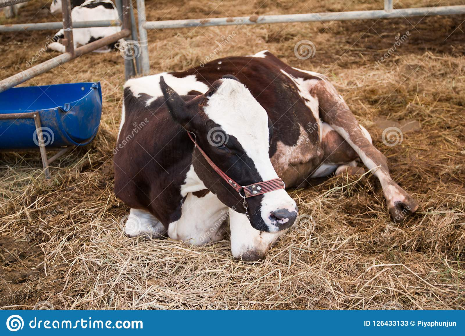Dairy Cows In A Cowshed For Industrial Agriculture Stock ...