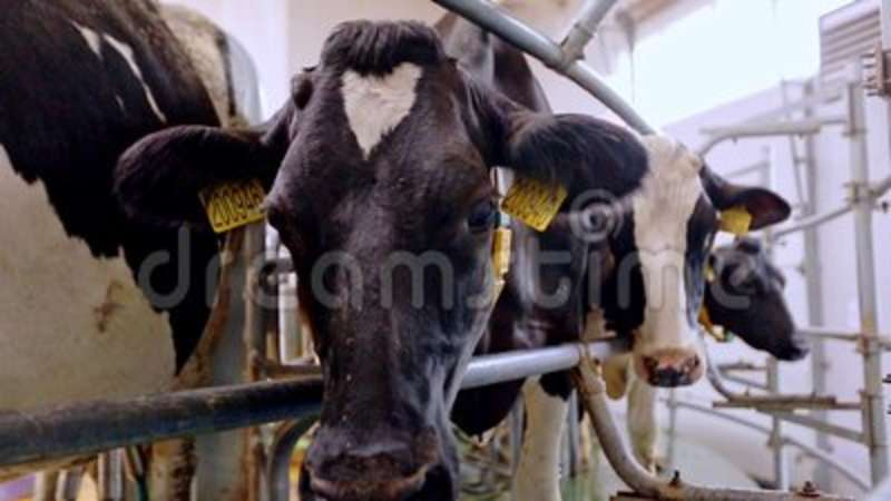 Dairy Cows On Milk Farm Process Milking Stock Footage