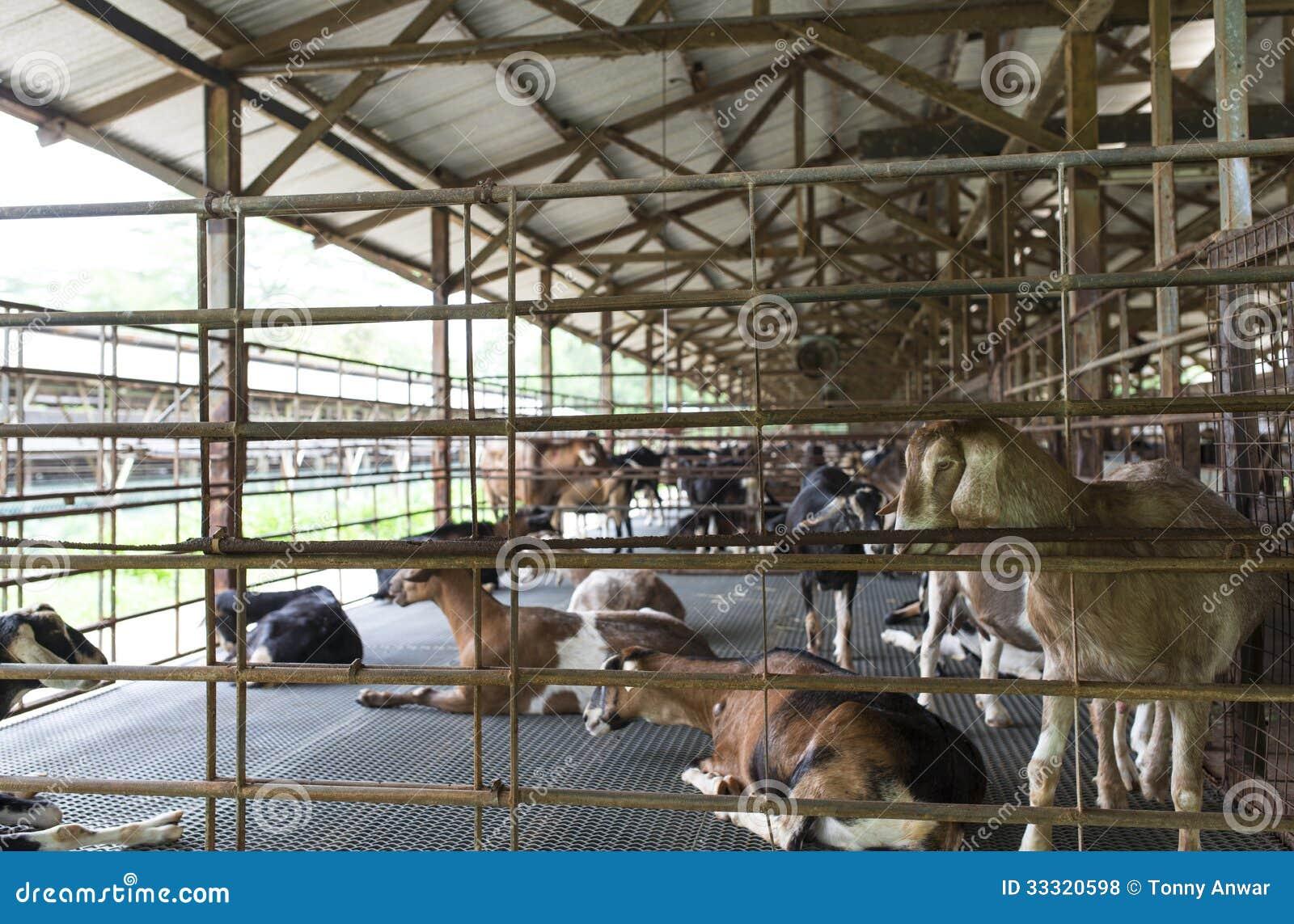 Dairy Goat Inside The Sheltered Pen