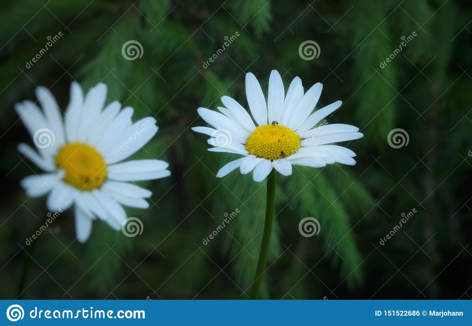 Daisies against tree