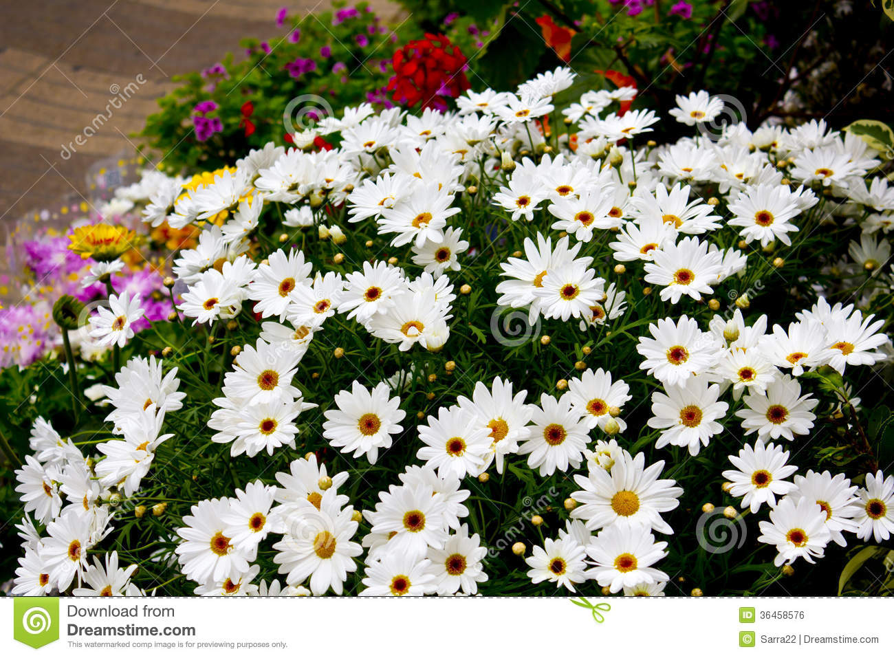 Daisies In Flower Shop Stock Photo Image Of Flower Arrangement