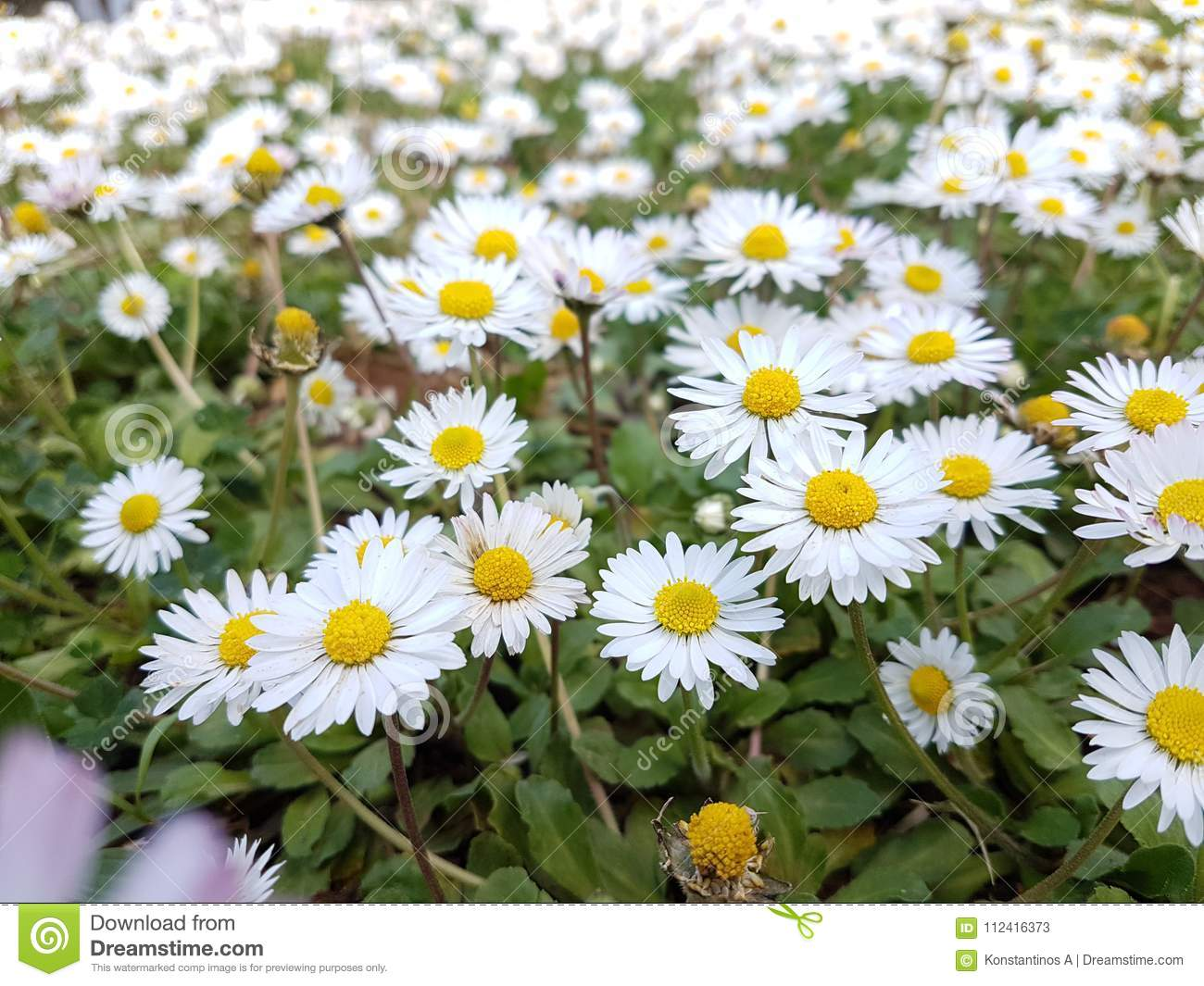 Daisies Flowers In Spring Green Lawn For Nature Stock Image Image