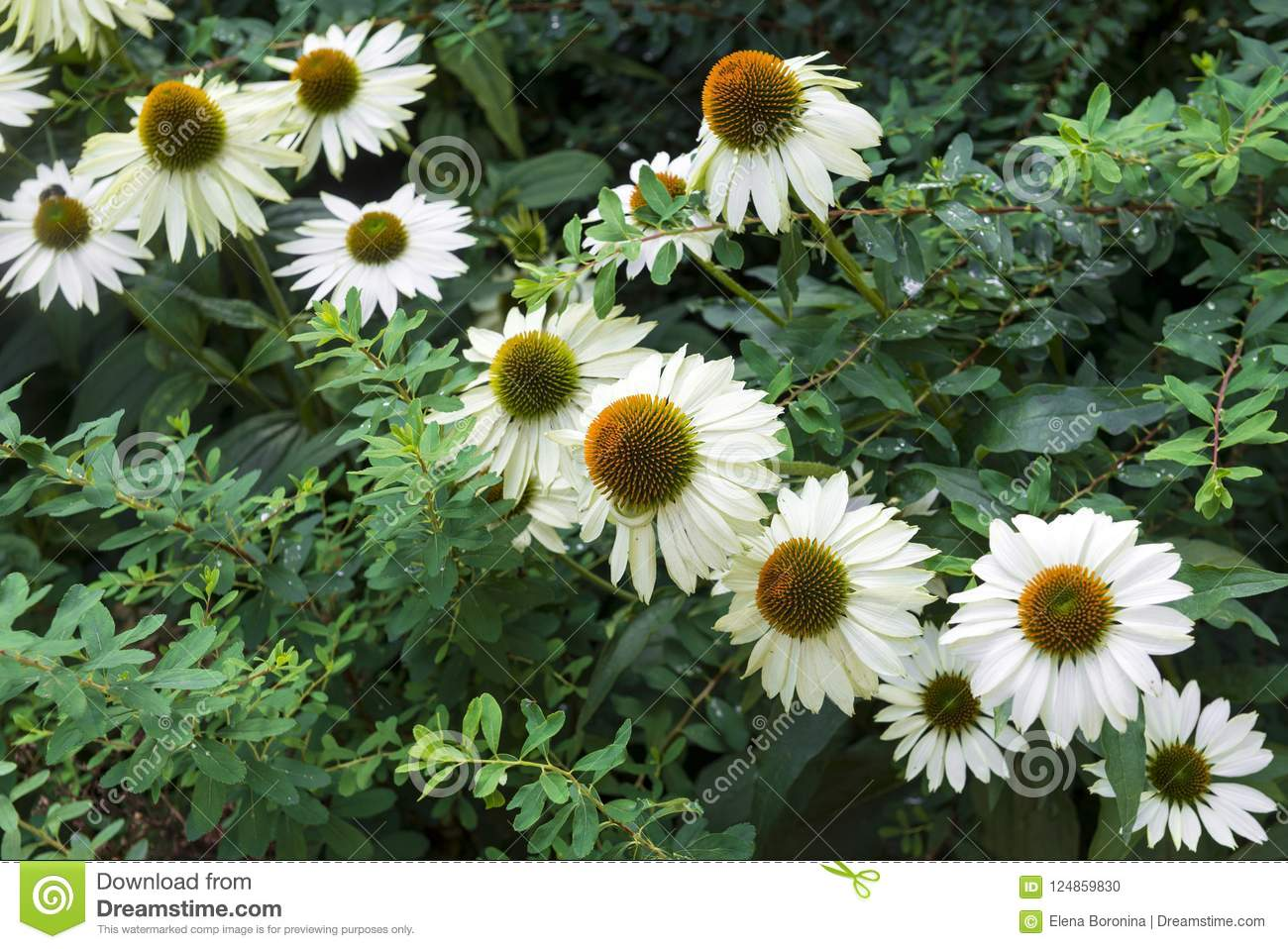 Daisies Garden Flowers With White Petals Among The Greenery Fl