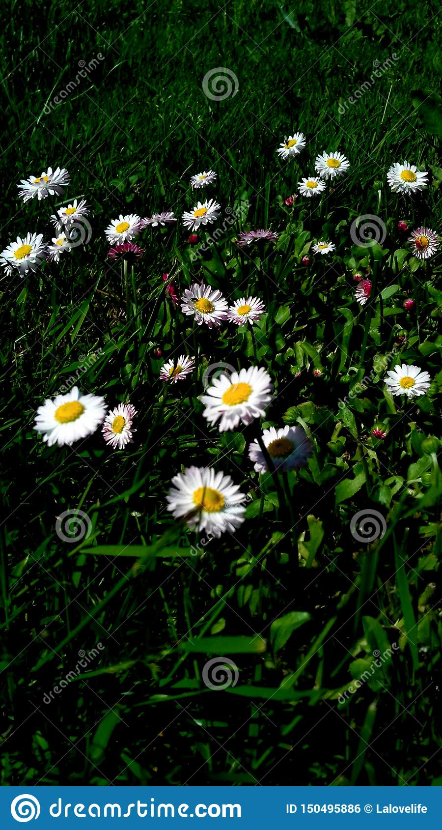 Daisies with green background