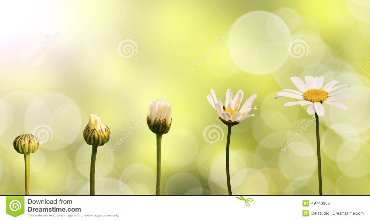 Daisies on green nature background