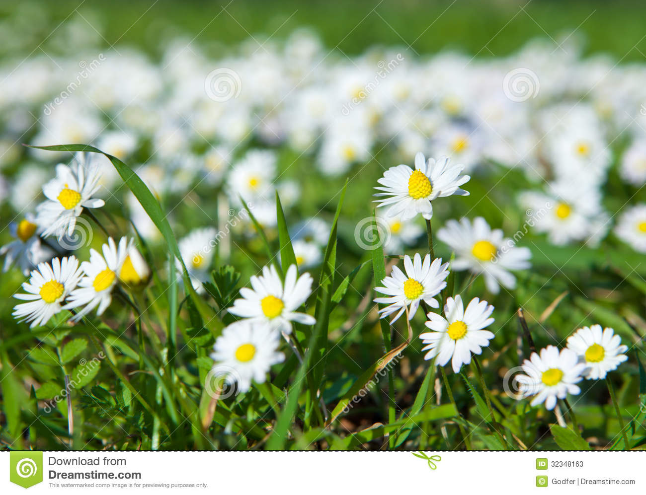 Daisies lawn of daisy flowers stock image image of blossom sunny download daisies lawn of daisy flowers stock image image of blossom sunny izmirmasajfo