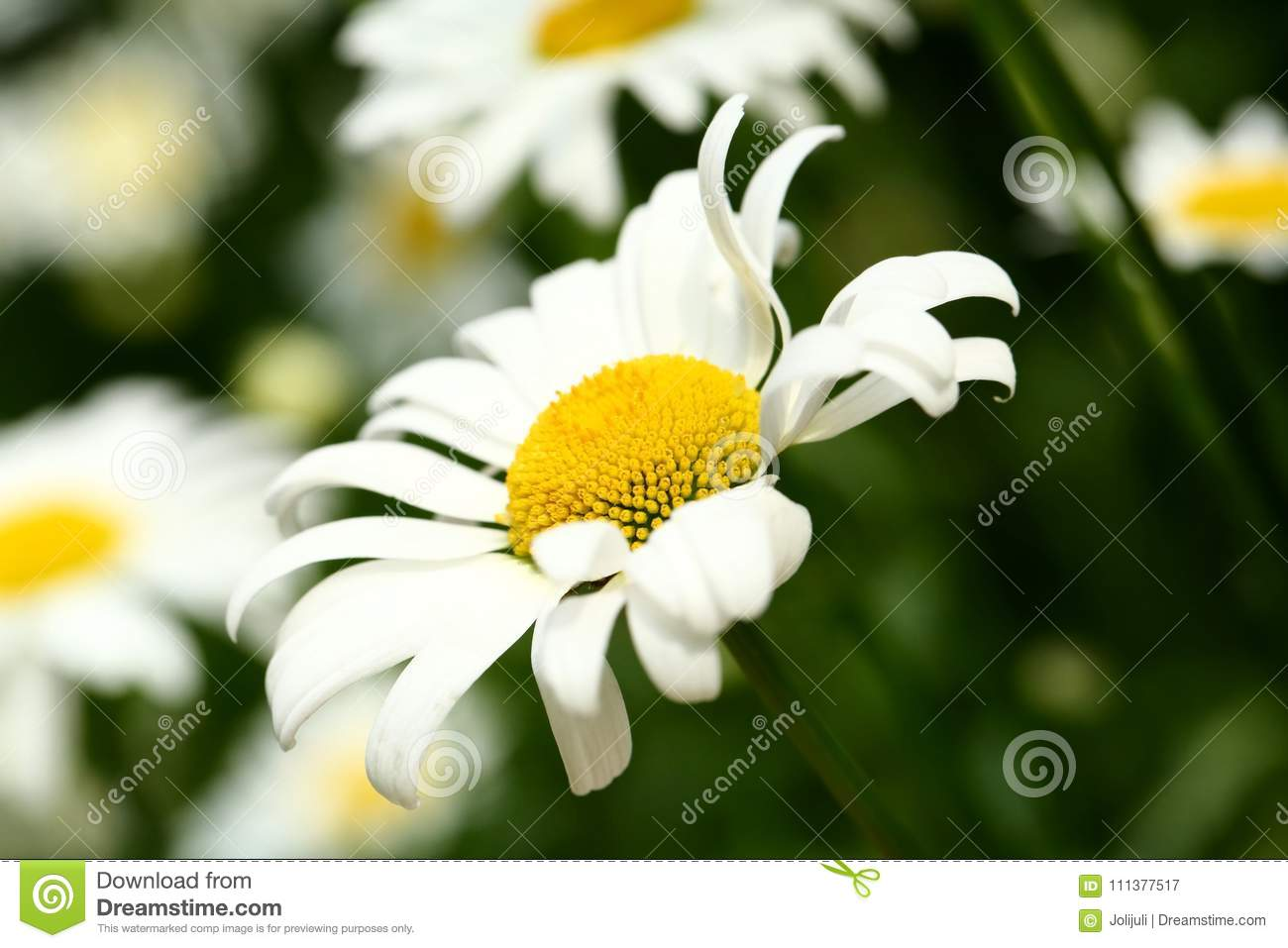 Daisies Stock Image Image Of Petals Little Daisy 111377517