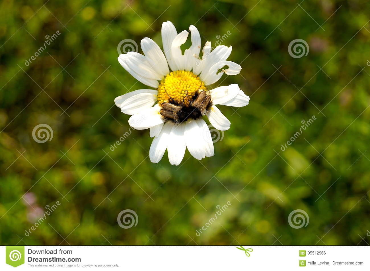 Daisies Are Simple Yet Sophisticated And Are Some Of The Most