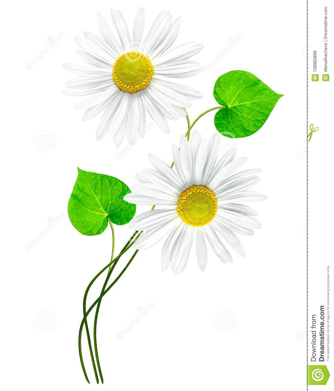 Daisies Summer Flower Stock Image Image Of Colors 108960899