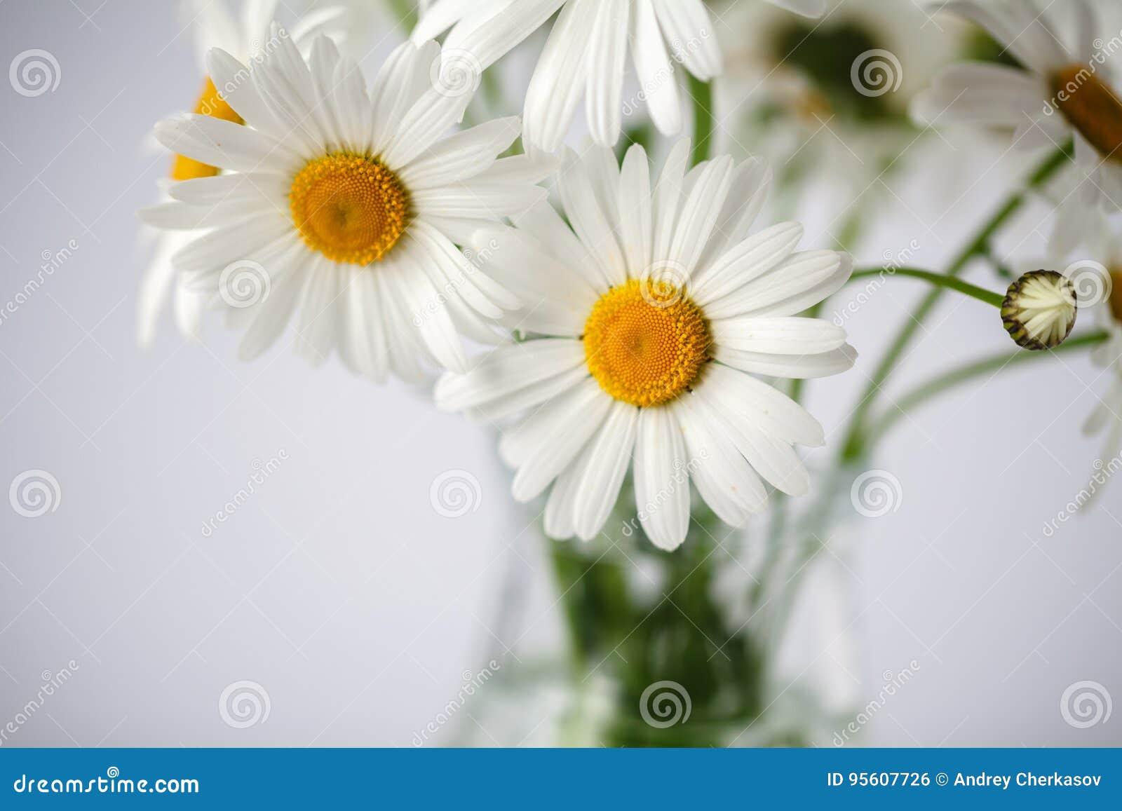 Daisies summer white flower on white background stock photo image daisies summer white flower on white background mightylinksfo