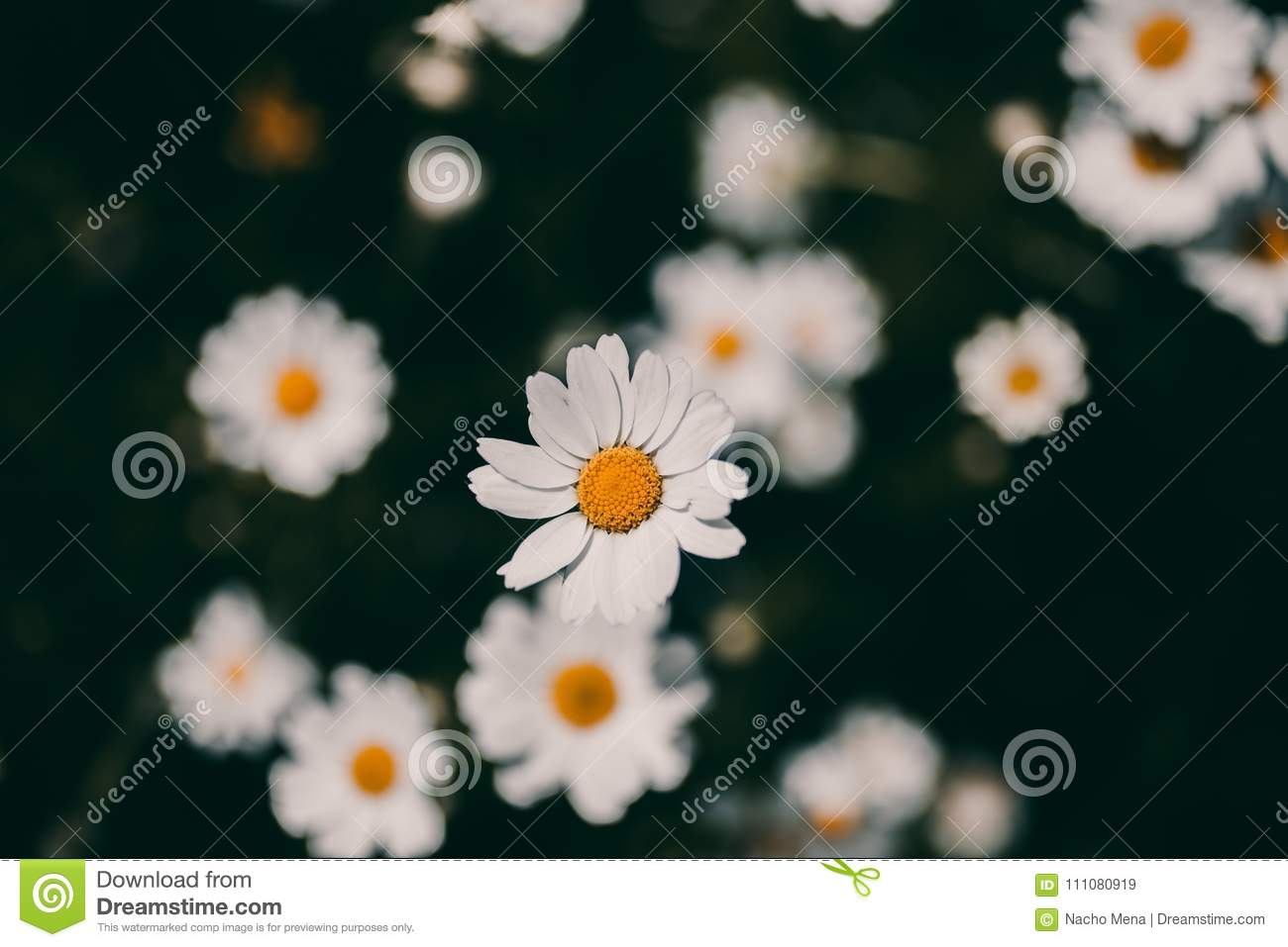 Daisies vintage background closeup of daisy flower in vintage style download daisies vintage background closeup of daisy flower in vintage style somber daisy flowers izmirmasajfo
