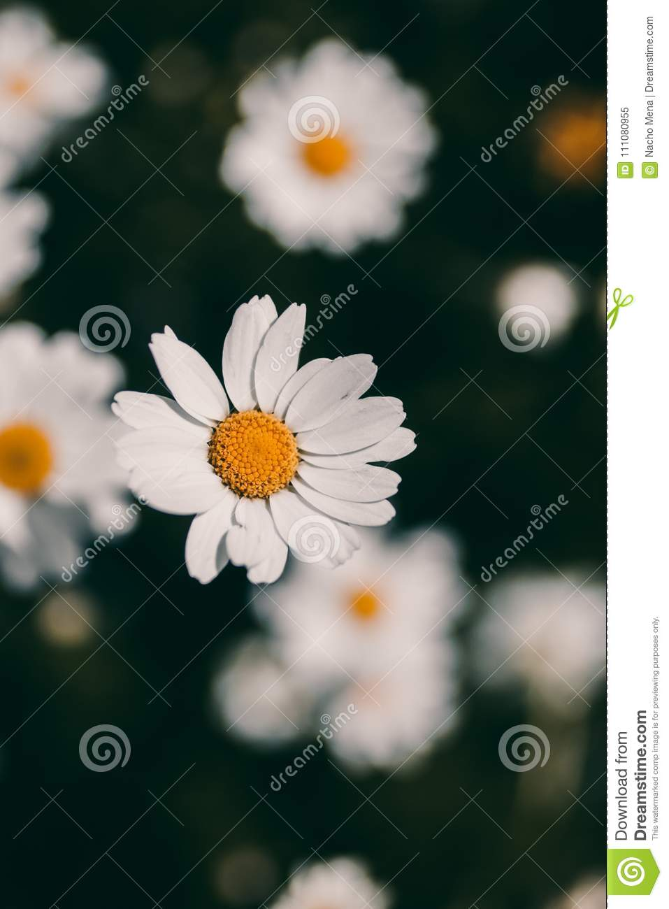 Daisies vintage background closeup of daisy flower in vintage style royalty free stock photo izmirmasajfo Choice Image