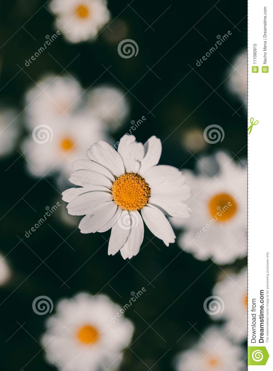 Daisies vintage background closeup of daisy flower in vintage style daisies vintage background closeup of daisy flower in vintage style somber daisy flowers izmirmasajfo