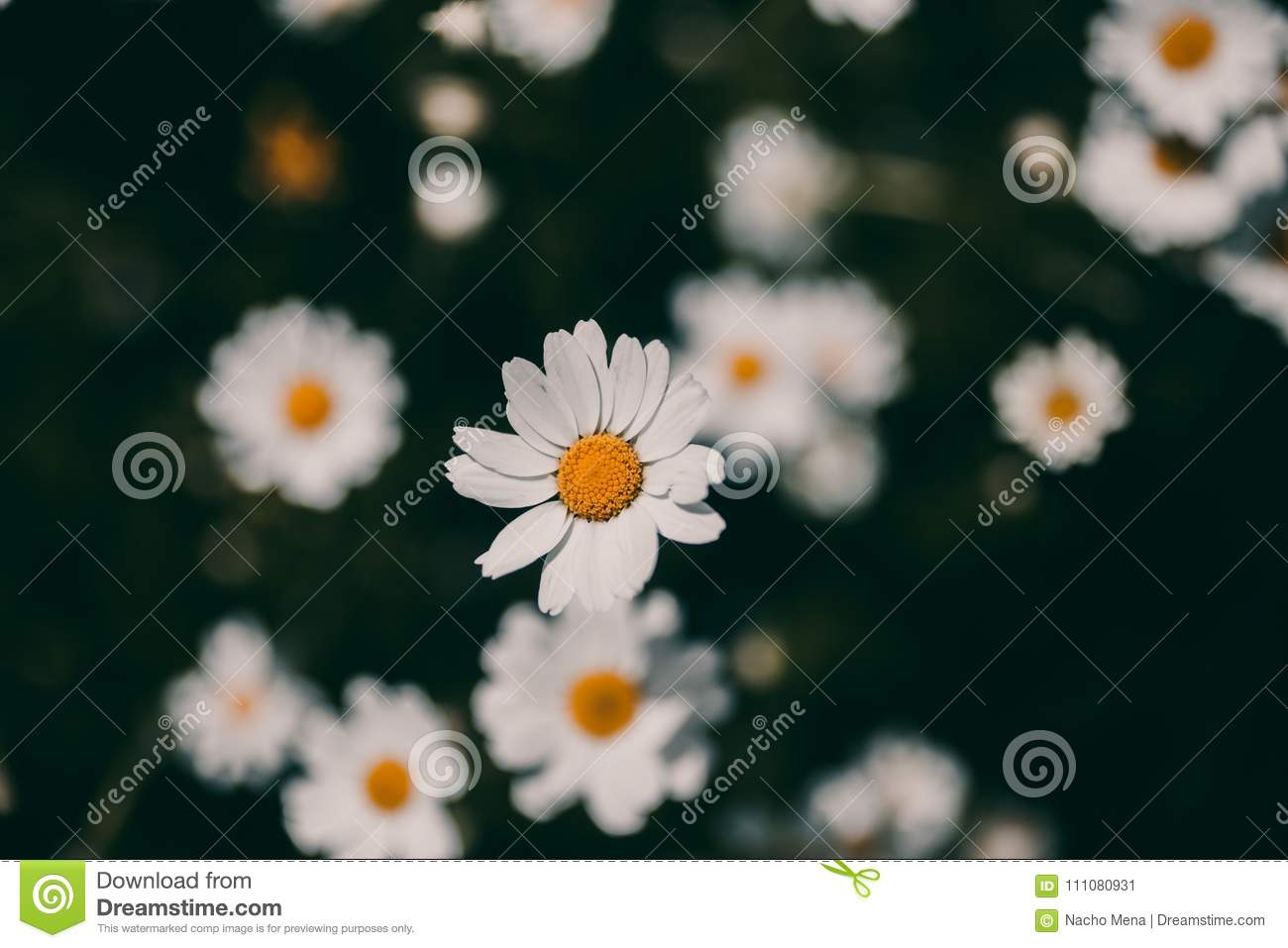 Daisies Vintage Background Closeup Of Daisy Flower In Vintage Style
