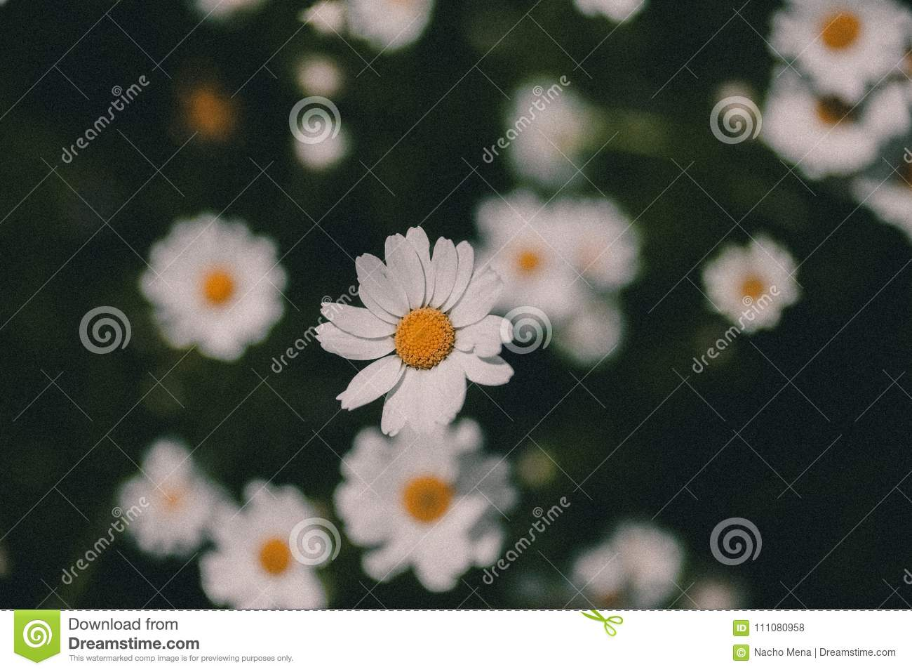 Daisies vintage background closeup of daisy flower in vintage style royalty free stock photo izmirmasajfo Image collections