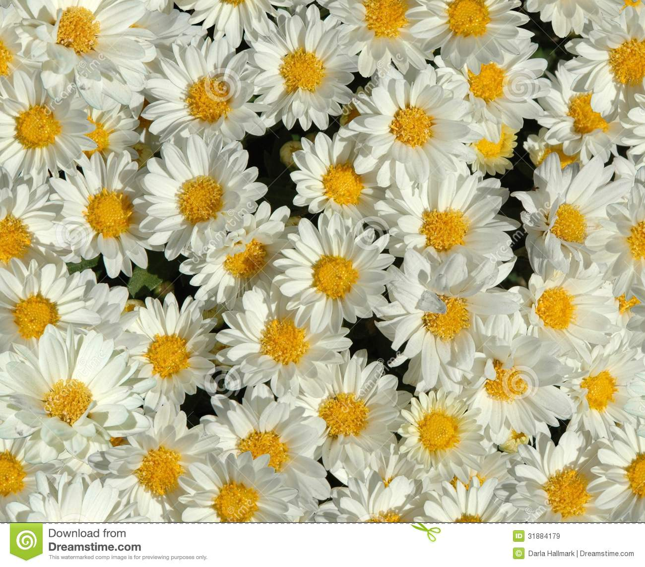 daisies wallpaper royalty free stock images   image 31884179
