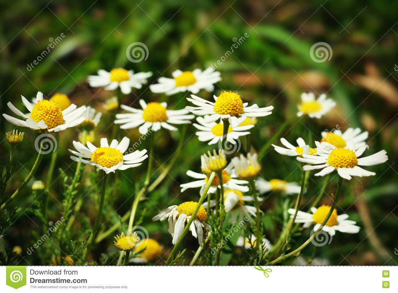 Daisies Stock Photo Image Of Petal Flowers Centers 74518294