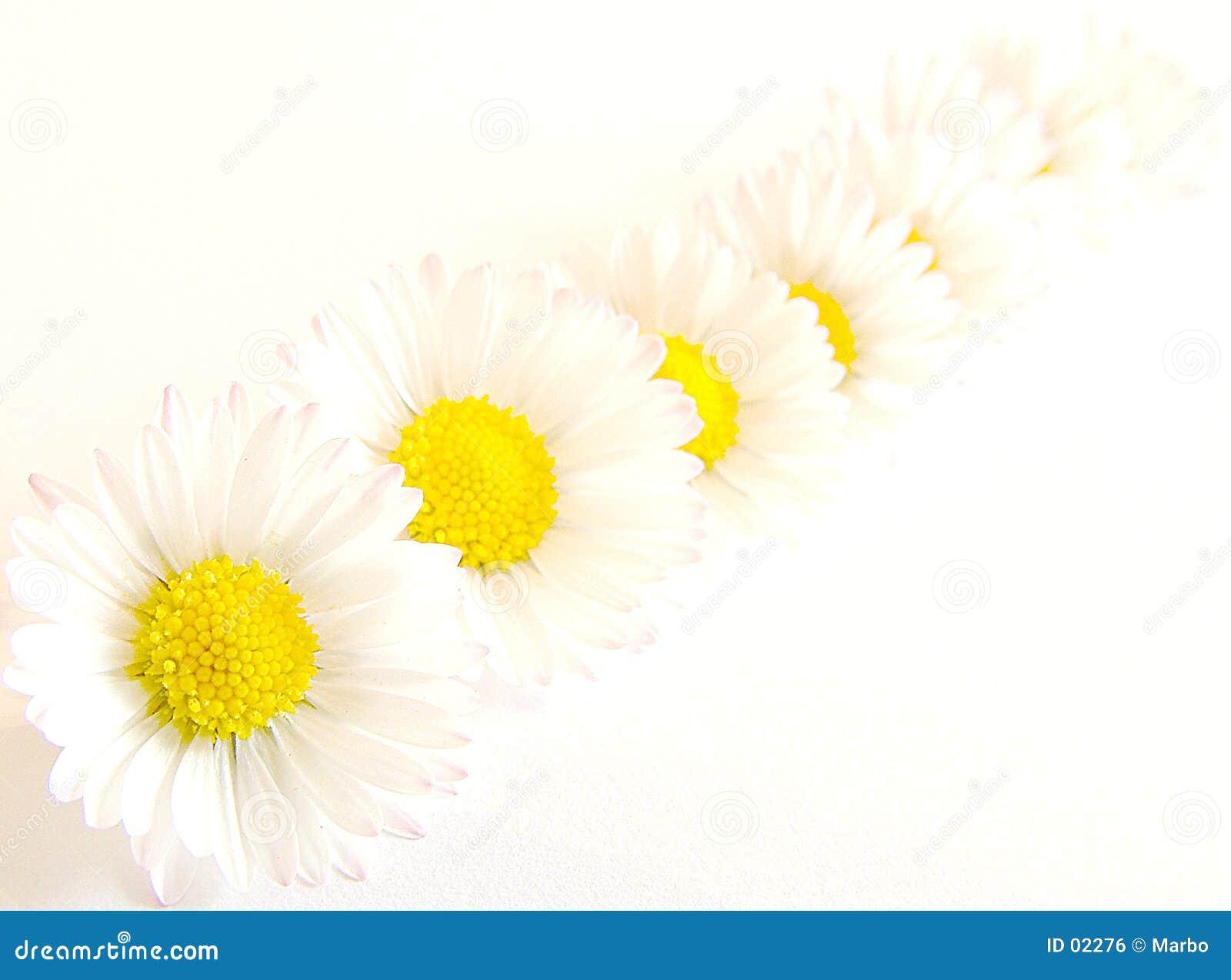 Daisy łańcuszkowa