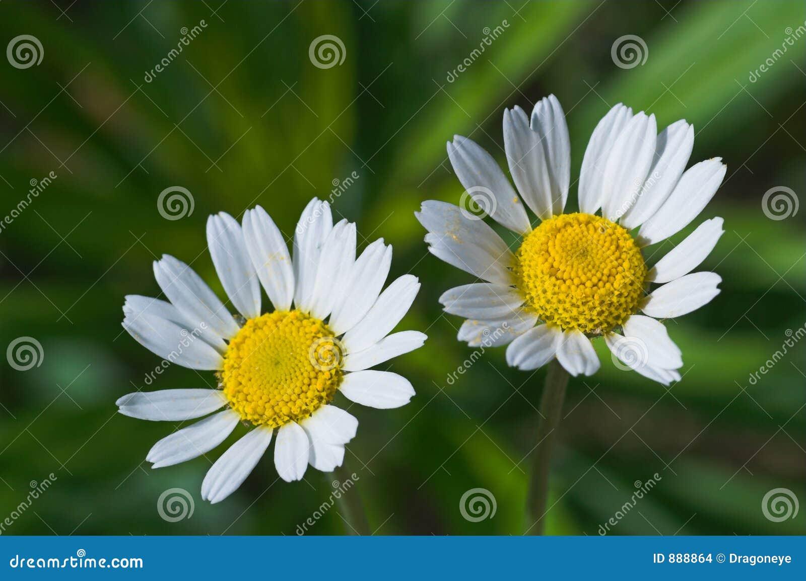 Daisy ładne leśnych 2