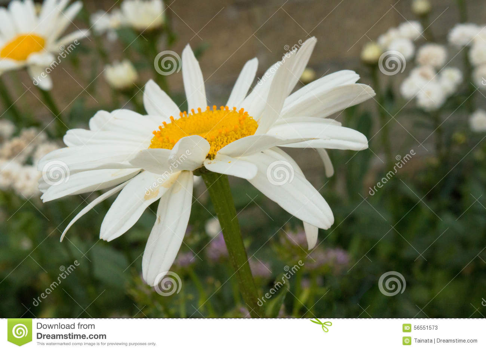 Download Daisy και πράσινα φύλλα - κλείστε επάνω Στοκ Εικόνα - εικόνα από κήπος, δάσος: 56551573