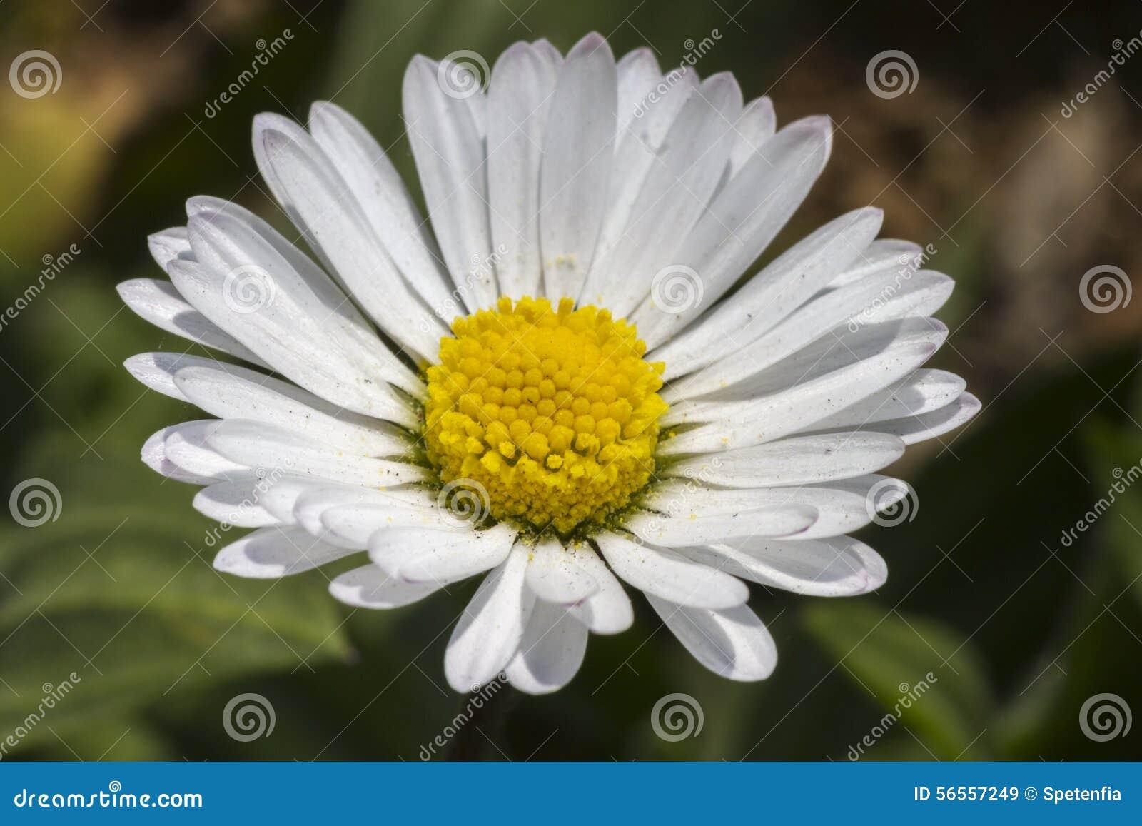Download Daisy στον κήπο στοκ εικόνα. εικόνα από φύλλο, οίστρο - 56557249