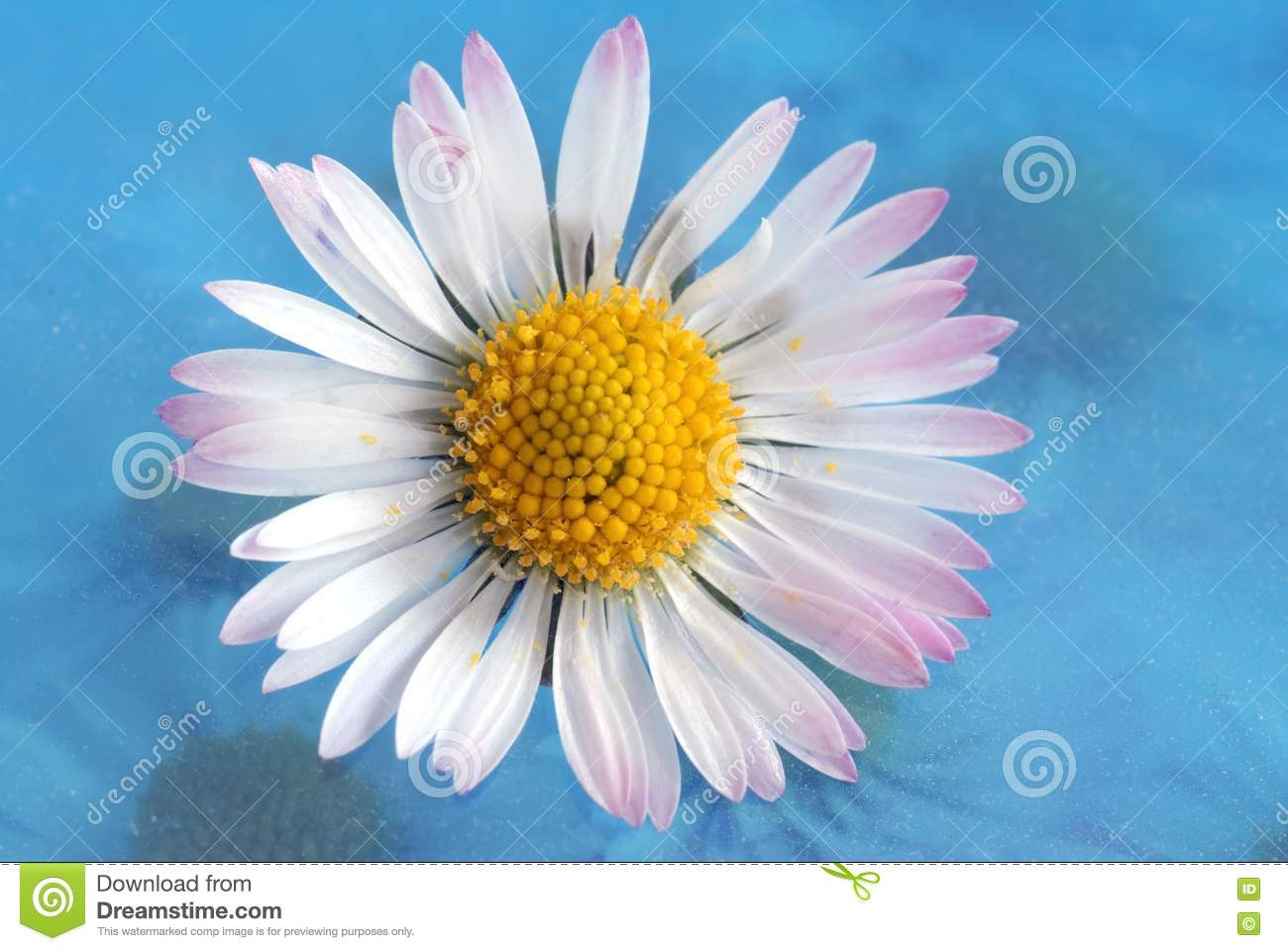 Download Daisy stock photo. Image of aroma, texture, floral, close - 2158380