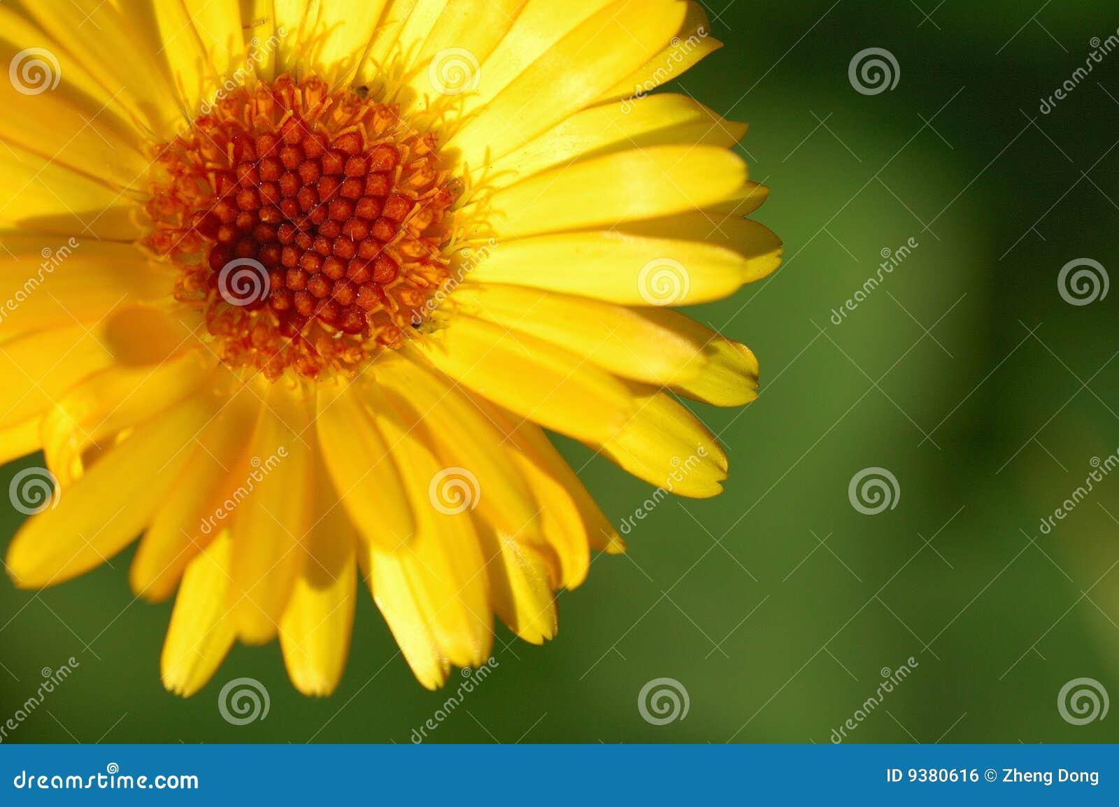 Download Daisy stock photo. Image of closeup, florist, close, garden - 9380616