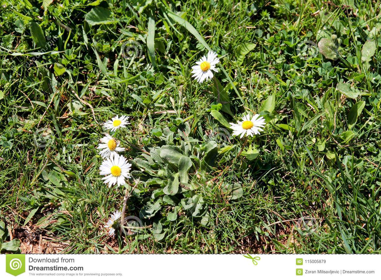 Daisy Beautiful White Field Of Daisies Flowers In Garden Spring