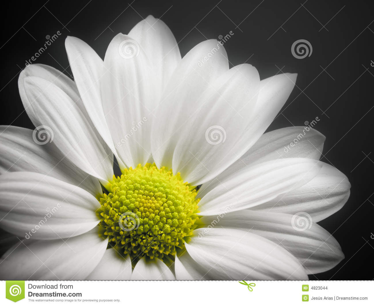 Daisy On Black Background. Stock Images - Image: 4823044