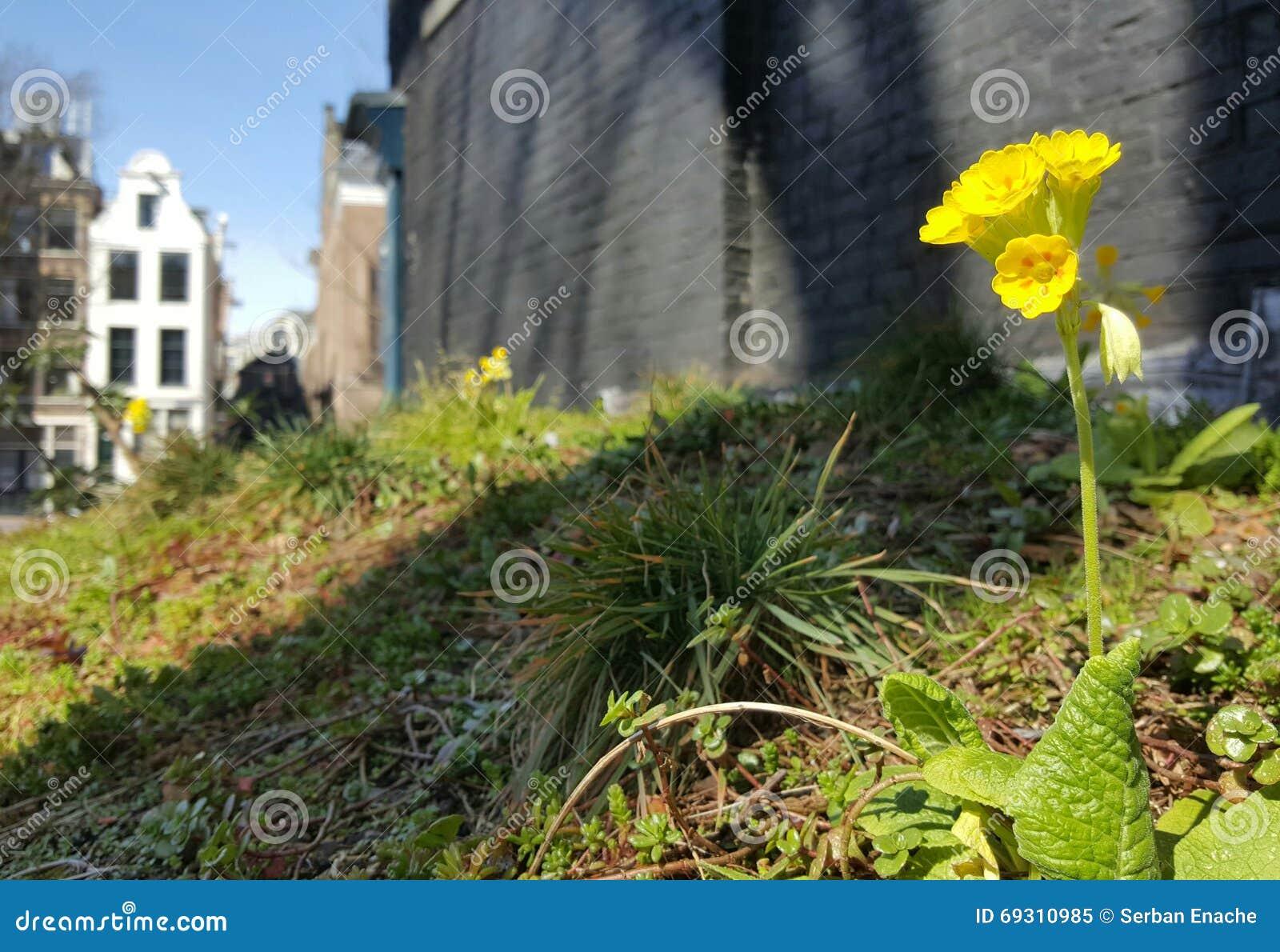 Daisy bloemen in de stad van Amsterdam