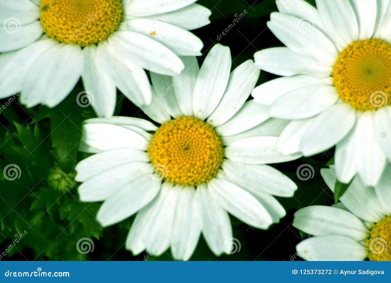 Daisy camomile flower daisy flower papatya stock photo image of download daisy camomile flower daisy flower papatya stock photo image of herbal izmirmasajfo