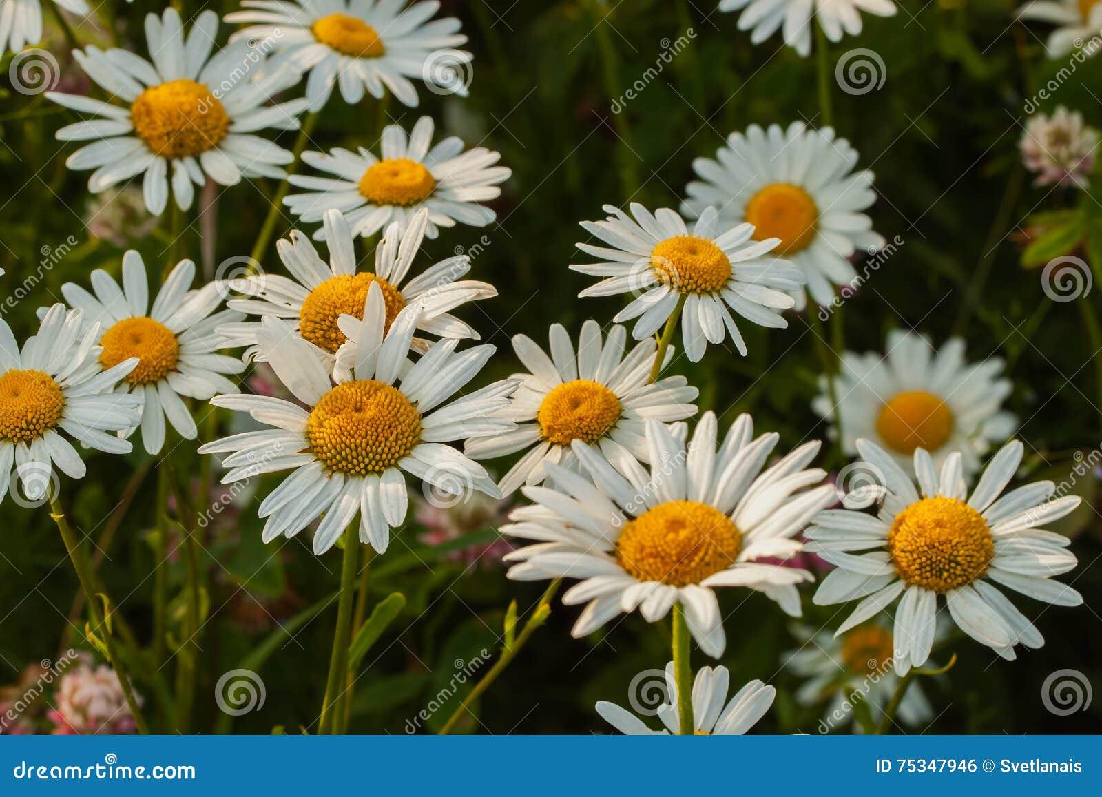 Daisy Charming Flower Symbol Of Beauty Nature Stock Photo Image