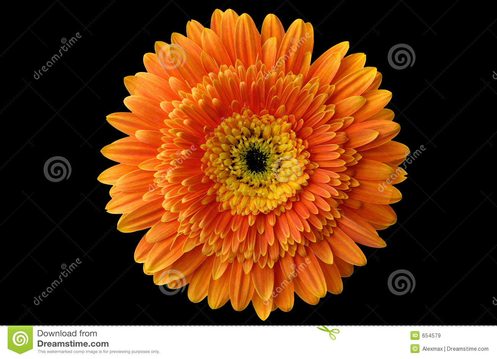 Daisy flower 1 stock image image of close black nice 654579 daisy flower 1 izmirmasajfo