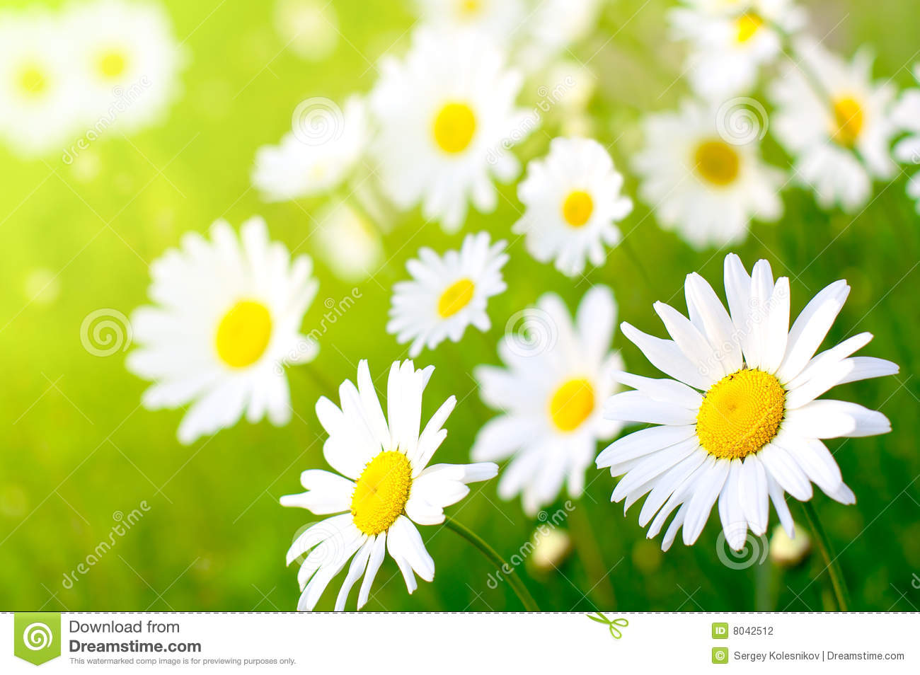 daisy flower stock photography  image, Beautiful flower