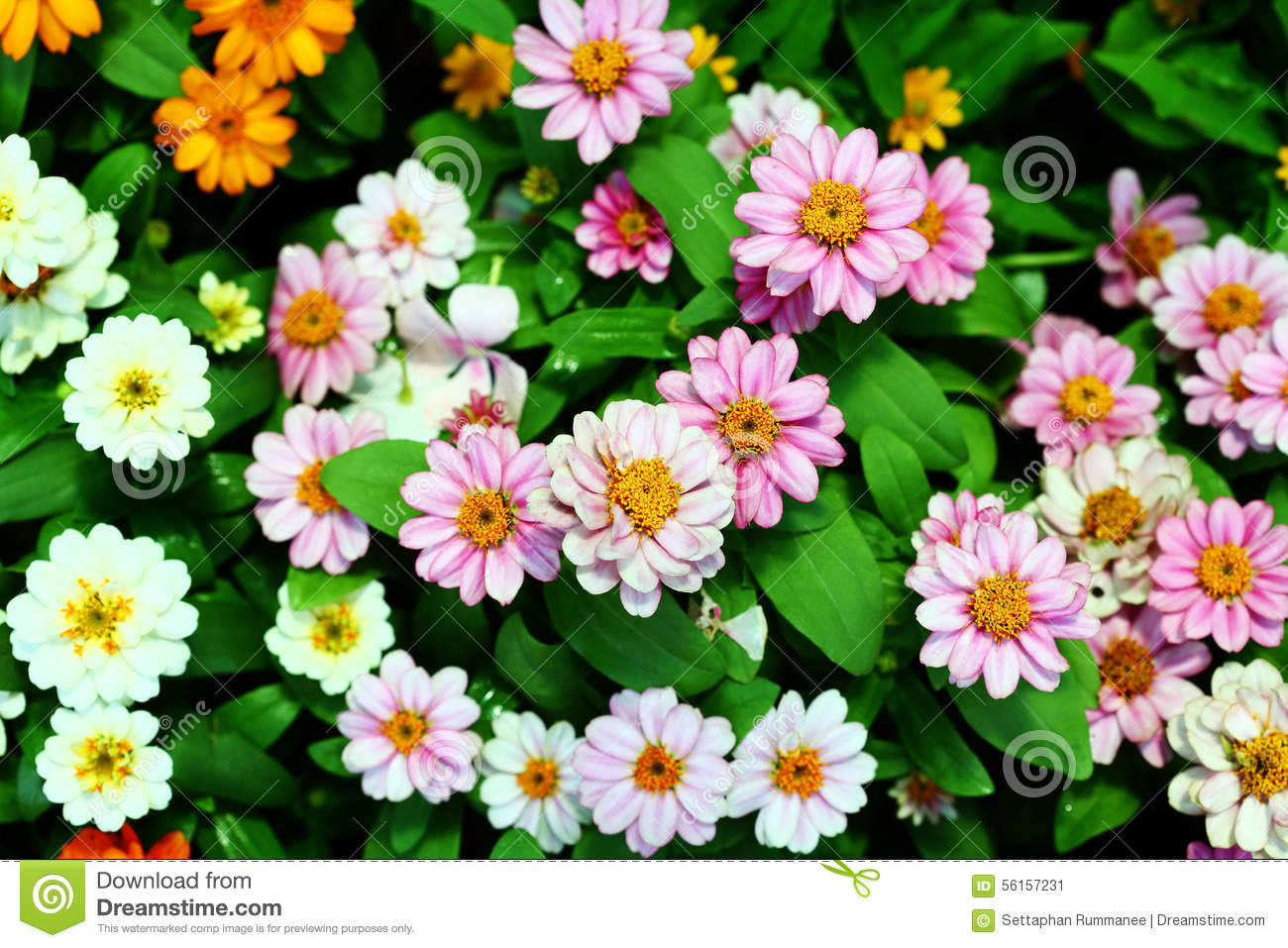 Daisy Flower Background Texture Beautiful Pink And White Color In