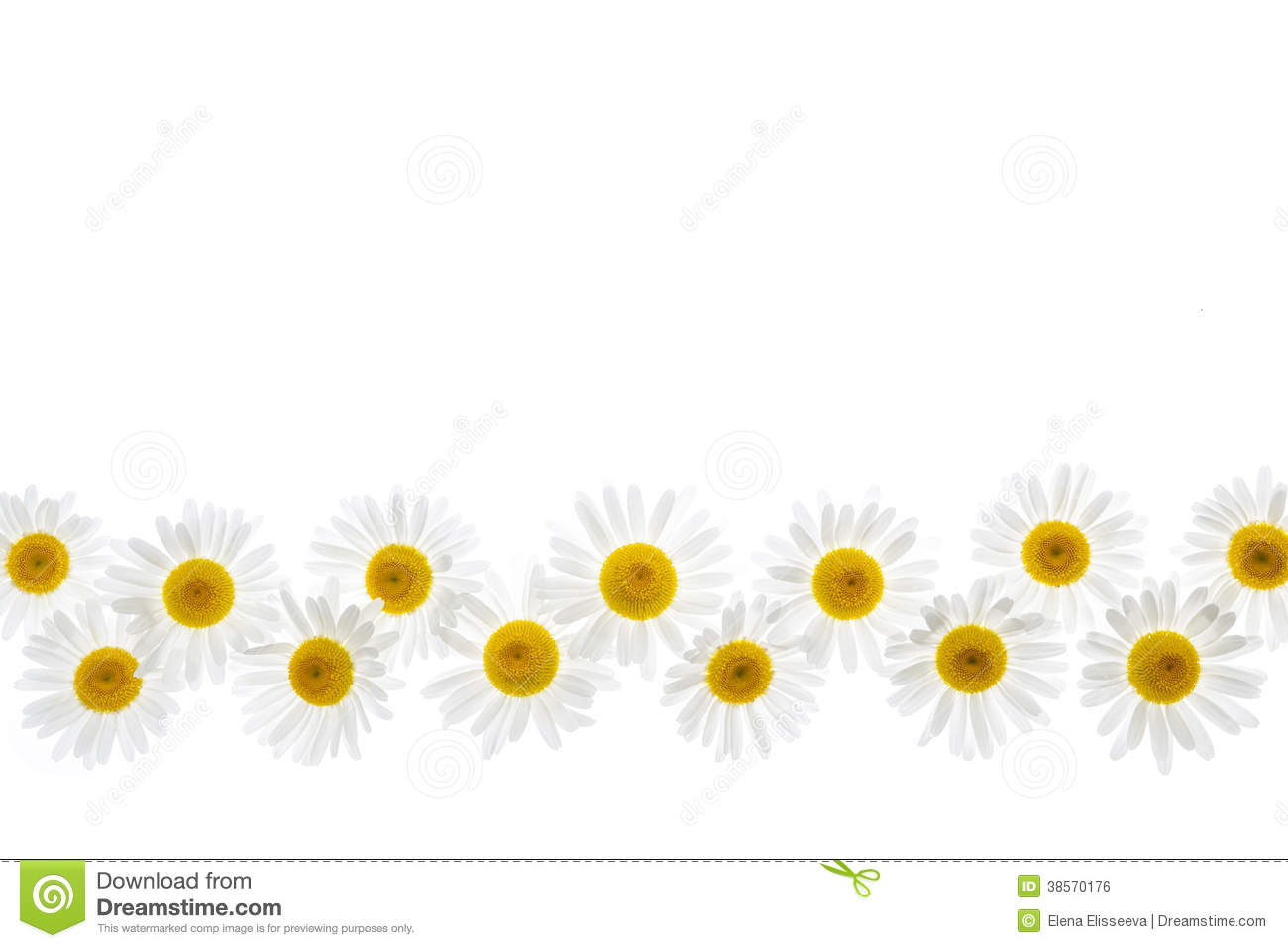 Daisy flower border stock photo image of oxeye isolated 38570176 download comp izmirmasajfo