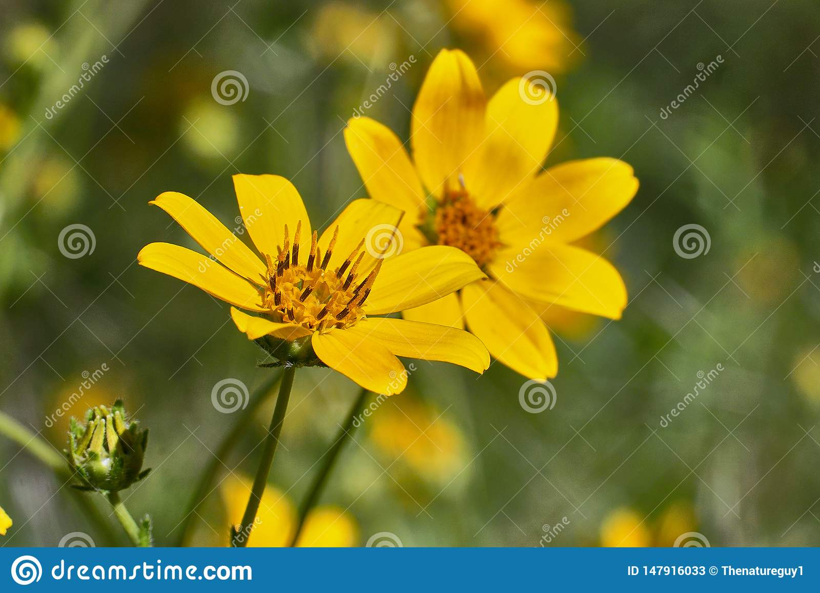 Daisy Flower de Engelmann Texas Wildflowers