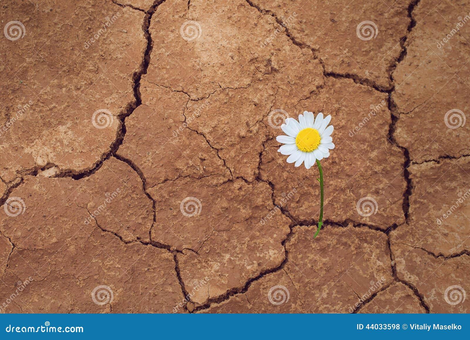 daisy flower in the desert stock photo