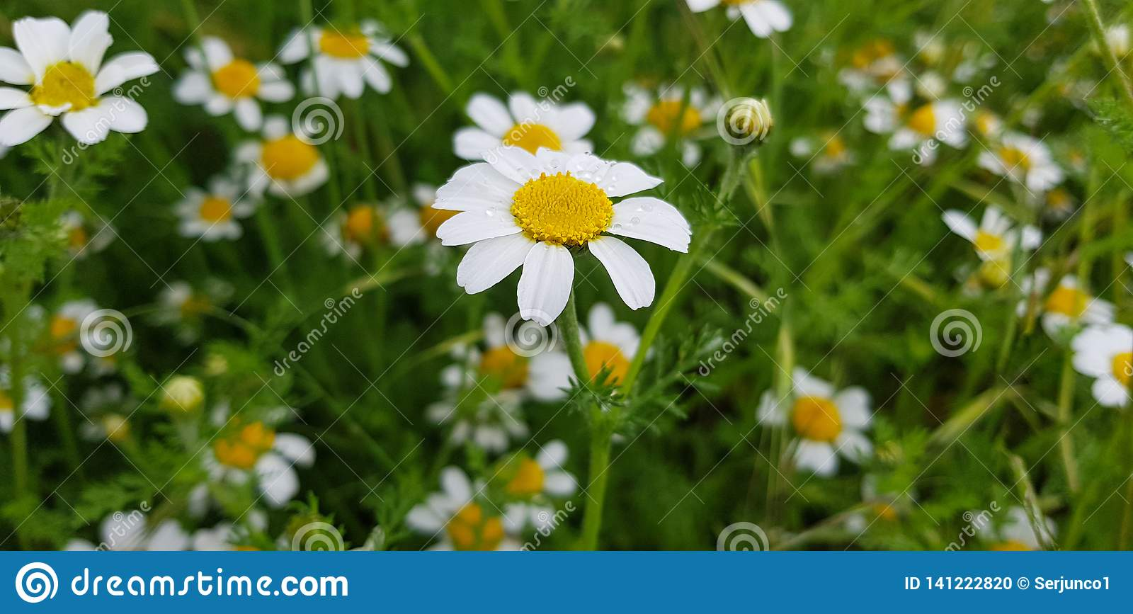 daisy flower detail with its white petals receiving sunlight on a background of green leaves and other daisy flowers