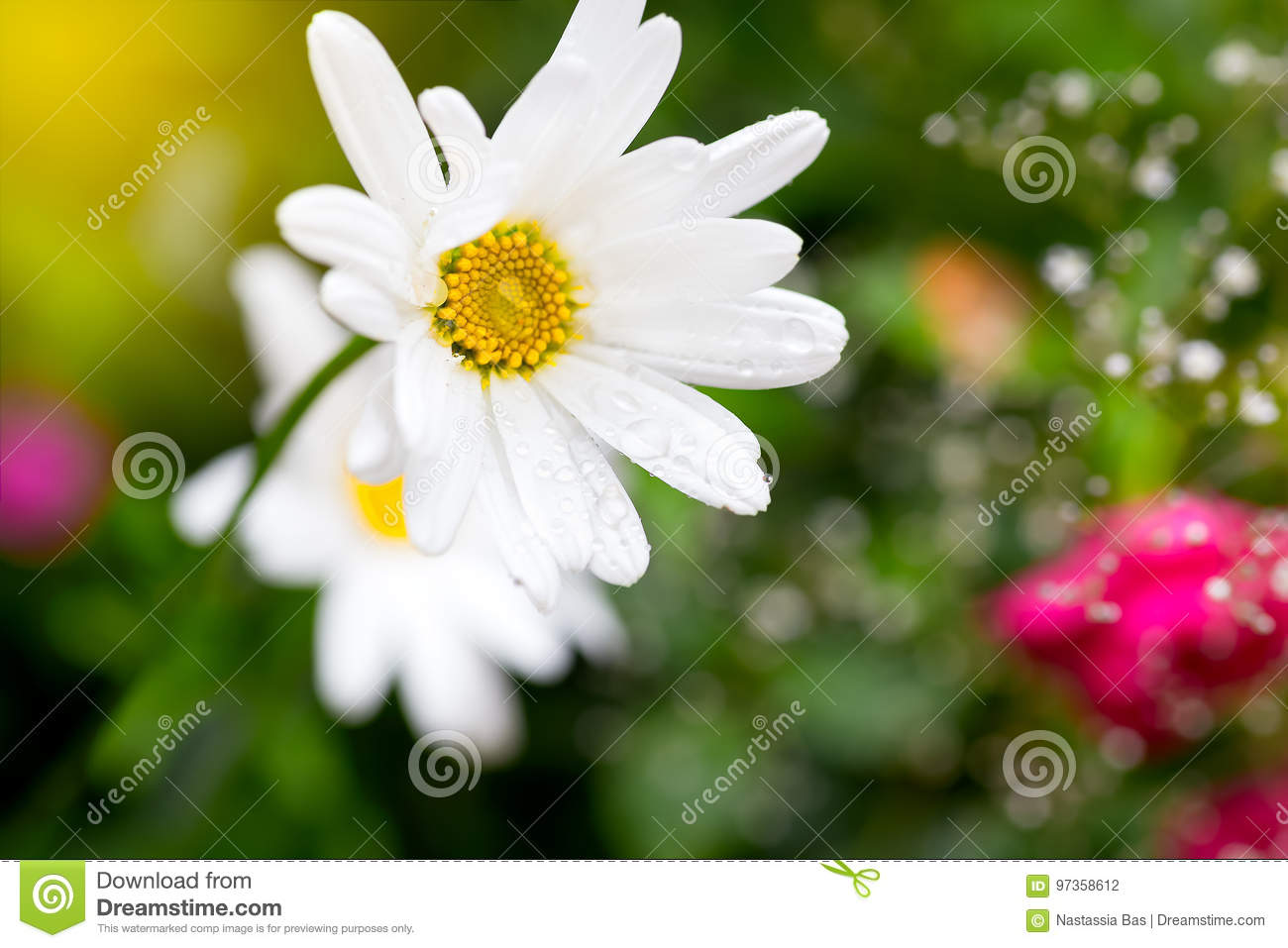 A Daisy Flower With A Drop Of Water On A Meadow After The Rain
