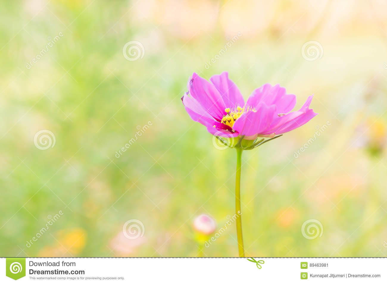 The Daisy Flower Face To Sunrise In Field Stock Image Image Of