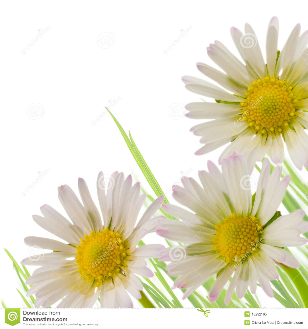 Daisy Flower Floral Design Spring Season Stock Image Image Of