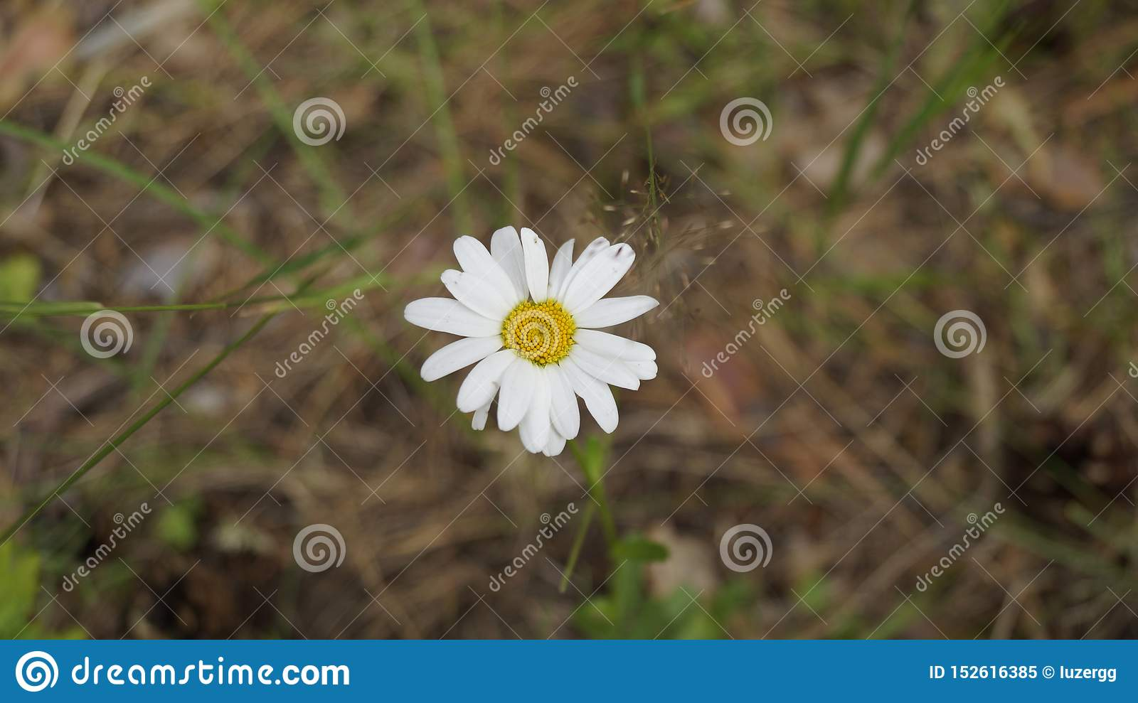 Daisy flower in the forest