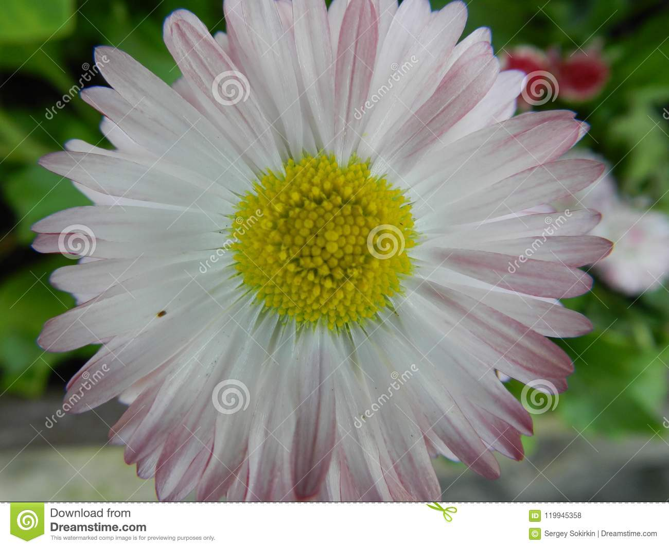 Daisy, flower, garden, lawn, meadow, outdoors, bouquet, summer ,, plants, beauty, nature ,, petals