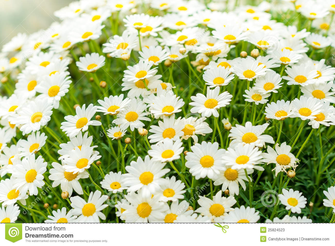 Daisy flower garden shop retail store stock image image of retail daisy flower garden shop retail store izmirmasajfo