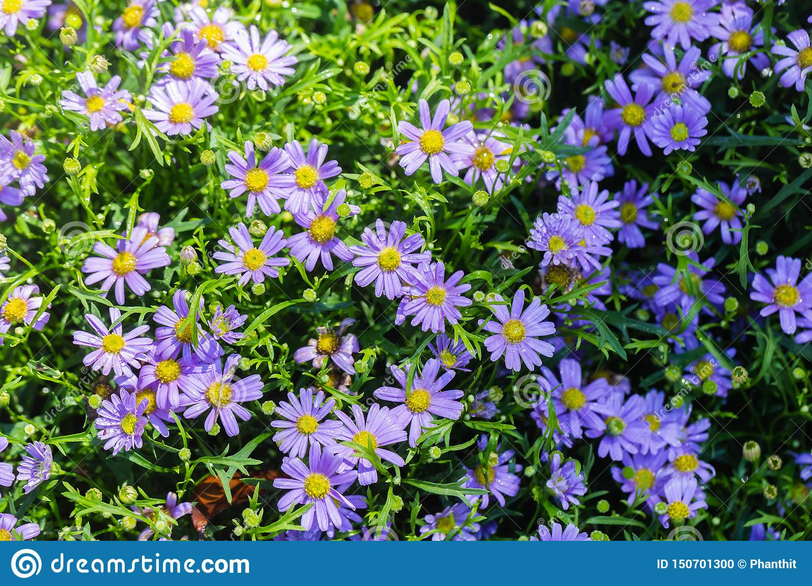 Daisy flower and green leaf background in flower garden at sunny summer or spring day for beauty decoration and agriculture design