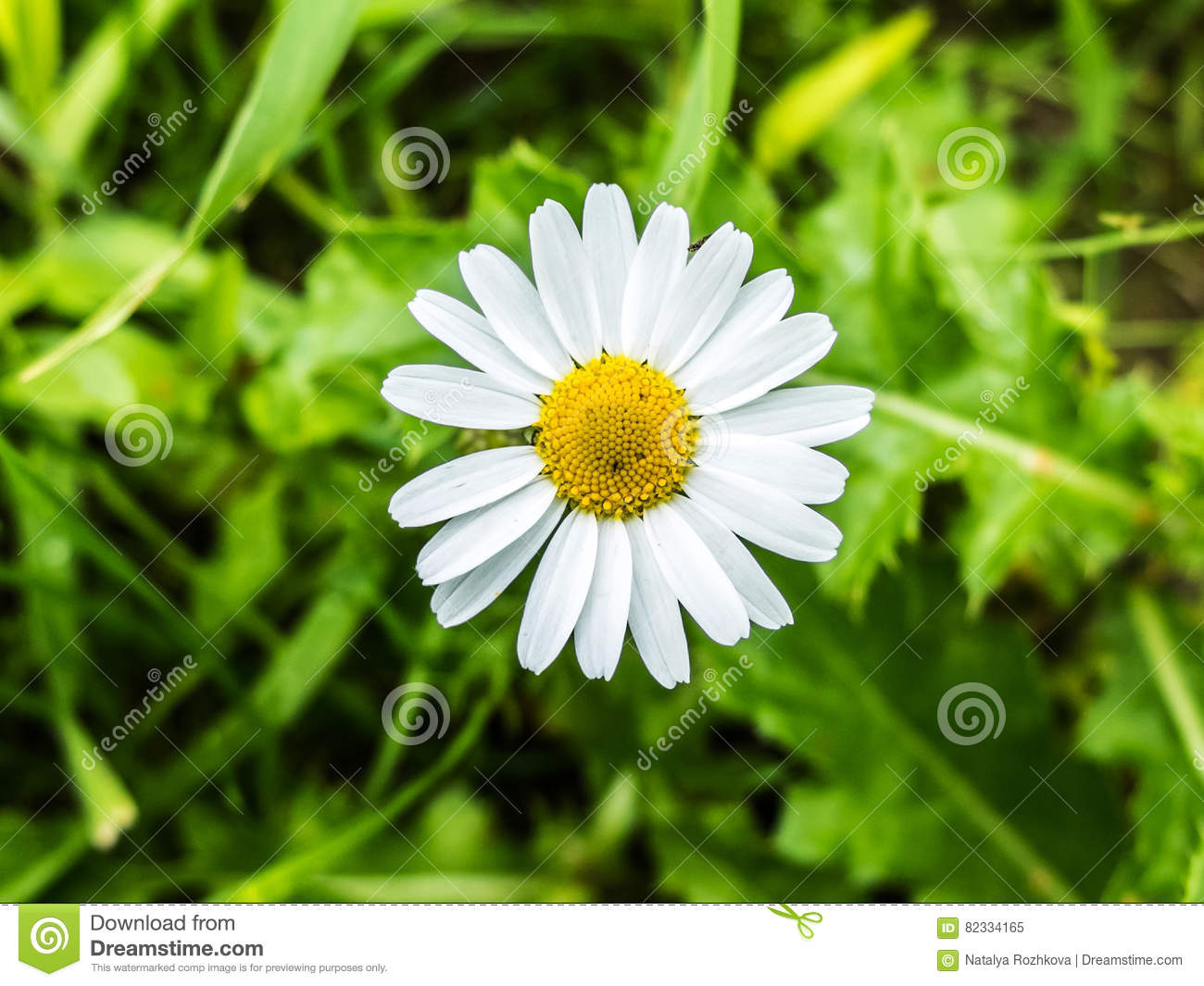 Daisy Flower Growing On Meadow In Green Grass Stock Image Image