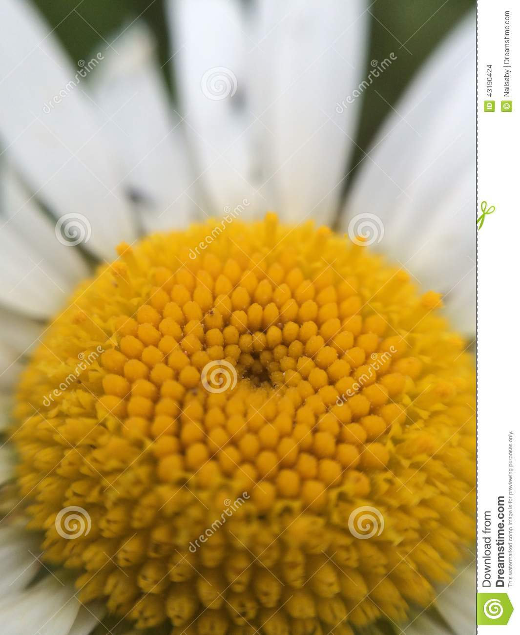 Daisy Flower Growing Up Among The Grass In The Meadow Stock Photo