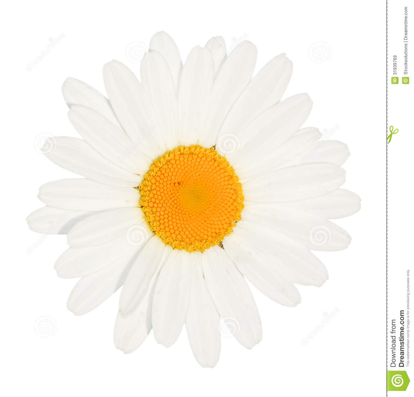 Daisy Flower Head Isolated Stock Image Image Of Chamomile 31939769