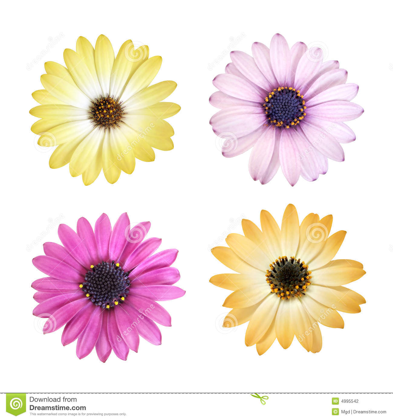 Daisy Flower Heads Stock Photo Image Of Colorful Design 4995542